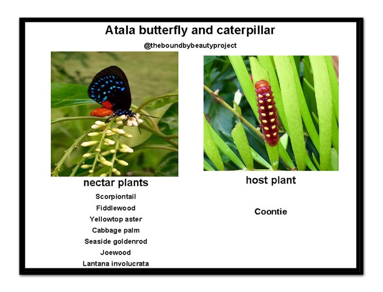 Atala butterfly nectar and host plants at-a-glance.