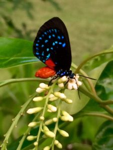 The beautiful and rare Atala butterfly is drinking the nectar of the fragrant flowers of the native fiddlewood tree.