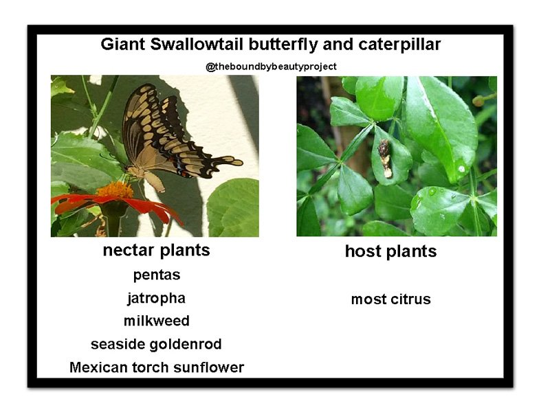 giant-swallowtail-nectar-and-host-with-larger-frame