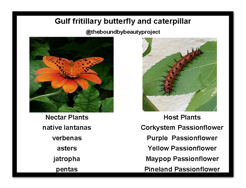gulf-fritillary-host-and-nectar-with-frame