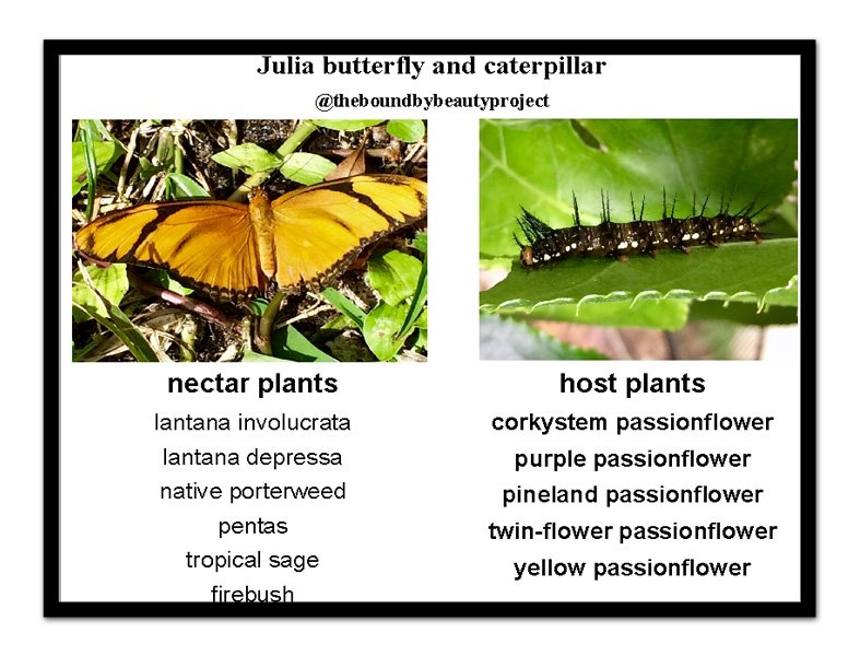 julia-host-and-nectar-plant-postcard-with-frame