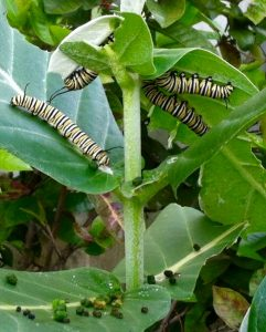 These Monarch caterpillars are chowing down on giant milkweed. They excrete a lot of frass when eating.
