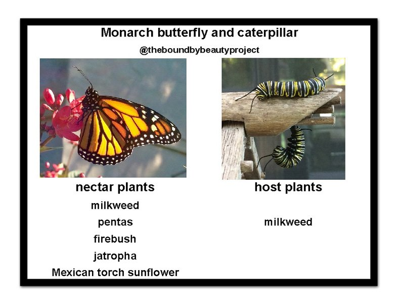 monarch-host-and-nectar-plants-with-frame