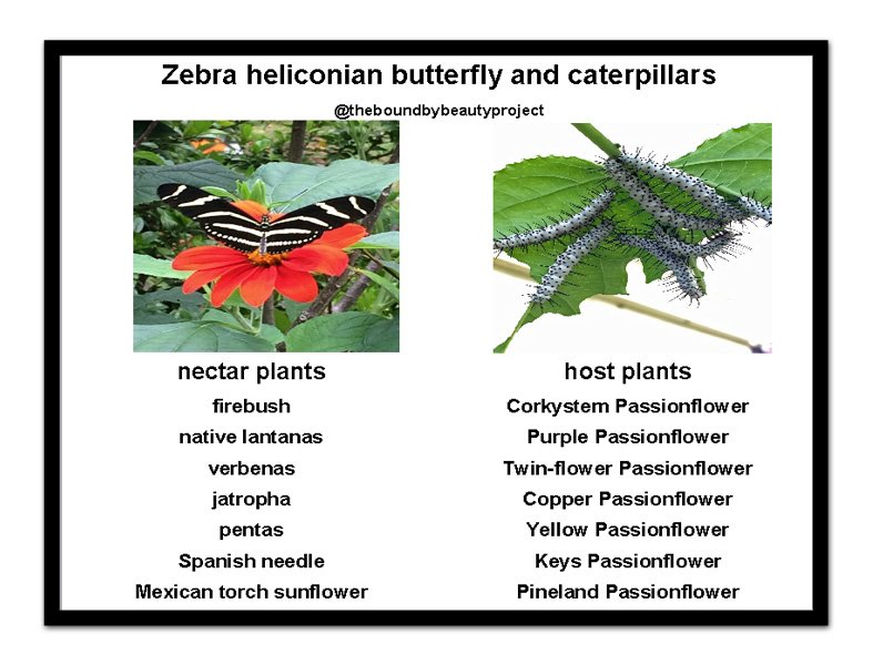 zebra-host-and-nectar-postcard-with-frame