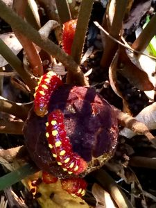 Atala caterpillars on coontie seed pod