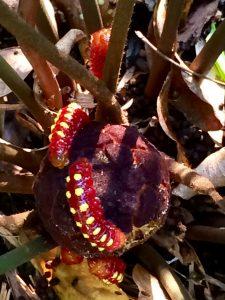 Atala caterpillars on coontie seed pod