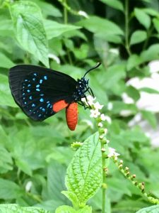Atala butterfly on scorpion tail flower