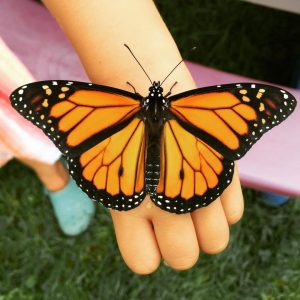 A beautiful male Monarch