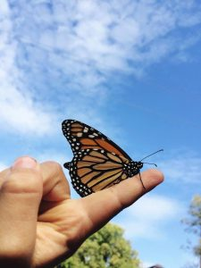A Monarch butterfly poised to take its first flight.