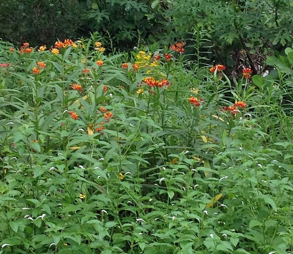A mix of native and non-native nectar and butterfly host plants.